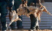 Massavlivning av fjäderfän efter smittolarm