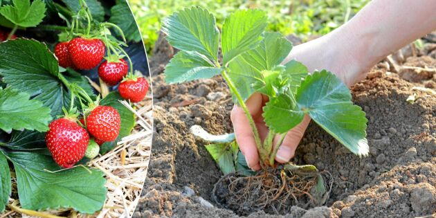 Sommarplantera nästa års jordgubbar – redan nu!