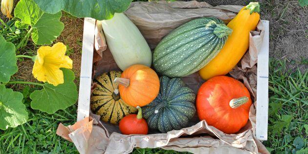 GUIDE: Lyckas med squash och pumpa – plantering, skötsel & skörd
