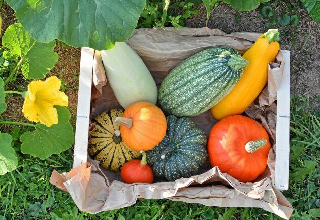 Pumpor och squash ger mycket mat för mödan.