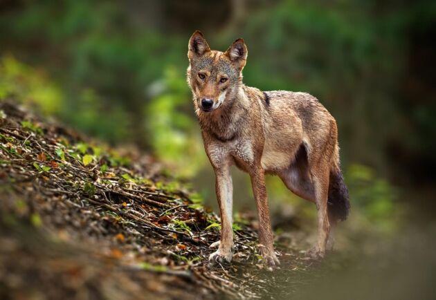 Tom Espgård på länsstyrelsen i Skåne tror att det är samma varg som dödat de två fåren i Kronoberg som tidigare slagit till flera gånger söder om länsgränsen.