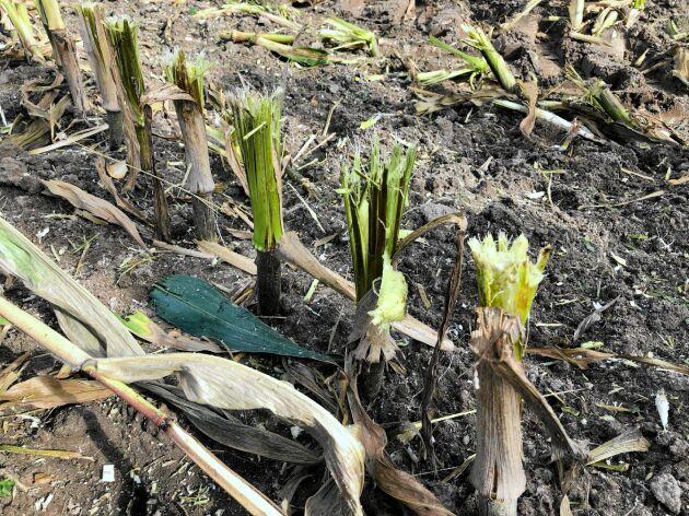 XCollect-bordets snittdiskar är speciellt utformade för att trasa sönder majsstammarna så att de ska ruttna fortare.