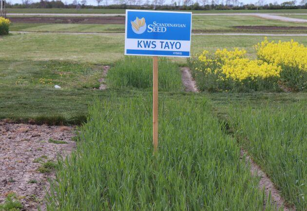 KWS Tayo är en ny hybridråg som Scandinavian Seed tagit in i år efter bara ett års provning i Sverige tack vare sin höga avkastning.