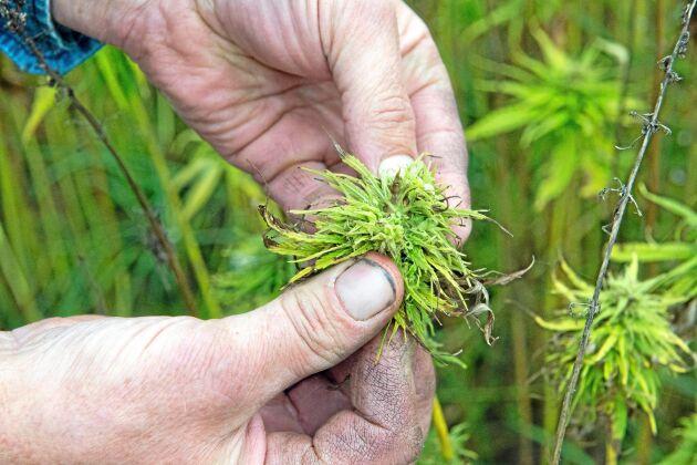 Inne i blomman växer hampafrön som blir frukost- eller fågelfrö.