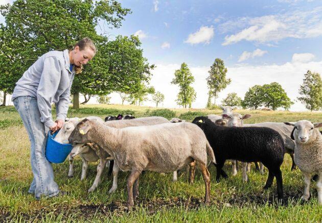Kraftfoder lockar till sig fåren. Raserna är texel och suffolk med en avelsbagge som är dorper-korsning.