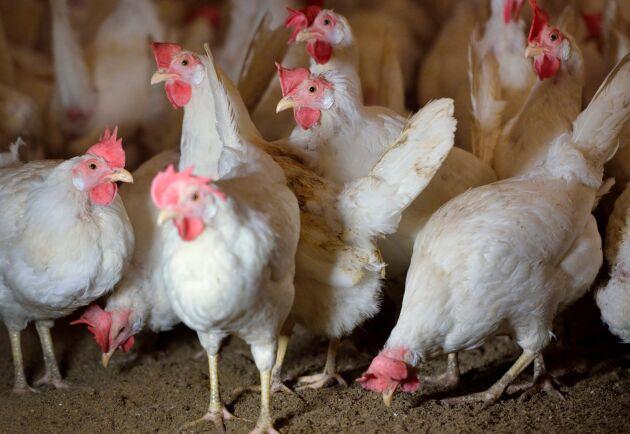 Höns i Ale har fått fågelinfluensa. Hönorna på bilden är inte de drabbade.