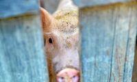 Olaglig grishandel har satt fart på svinpest