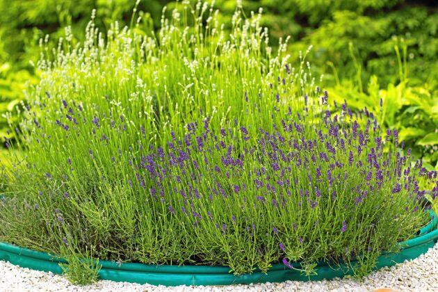Ser du knycken? Den här plantan sträcker ut sina grenar och letar efter nytt fotfäste i gruset. Foto: IBL