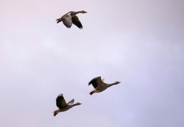 Flocken med grågäss flyger förbi och vill inte gå ned för bulvanerna.