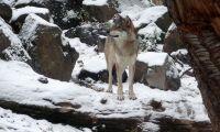 De ska undersöka konflikten mellan varg och jägare