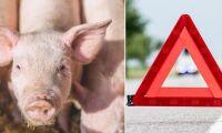 Transport med närmare 200 grisar har vält