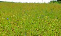 Klartecken för svampmedel i oljelin