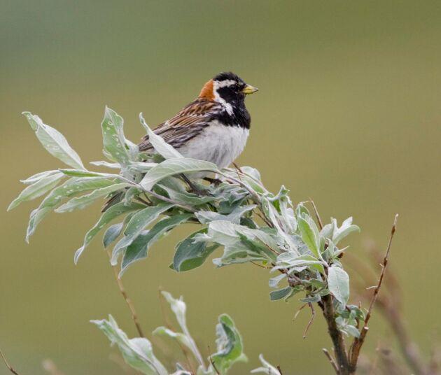Lappsparv är en av de fågelarter vars bond plundrats, enligt domen som fallit i fågeläggsmålet.