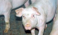 Miljoner danska grisar skickas till polska grishotell