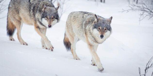 Två vargar skjutna i Norge – svenska aktivister bortmotade