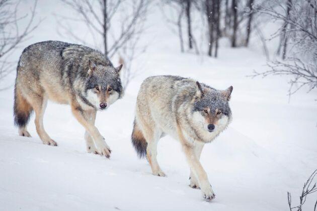 Två vargar sköts i norska Trysil på nyårsdagen. Svenska aktivister försökte störa jakten, men fördes bort av polis.