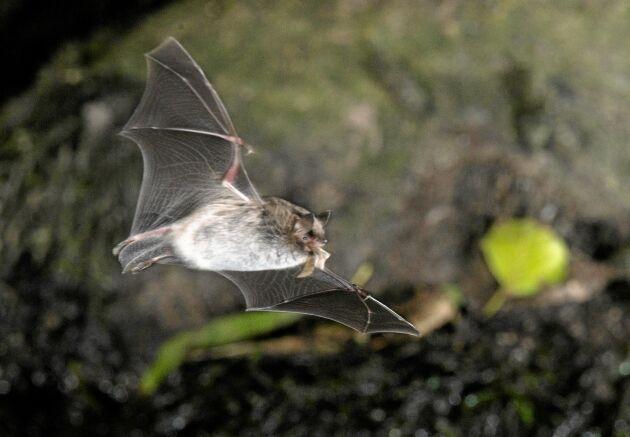 Vattenfladdermus med ett byte i munnen. Med de förlängda fingerbenen kan fladdermusen justera vingens storlek och riktning för att pricka det flygande bytet.