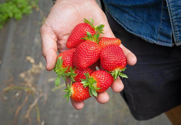 Den svenska jordgubben får symbolisera svenskt lantbruk då landshövdingen i Västra Götaland skriver ett debattinlägg om att stödja det.