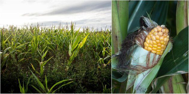 Spannmålsbrist banar väg för majs