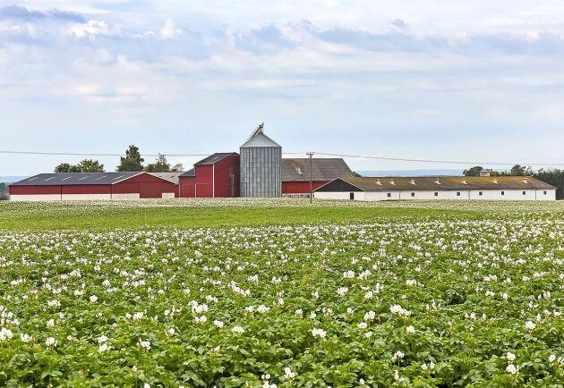 Gårdens 144 hektar åker är jungfrulig mark för morotsodling.