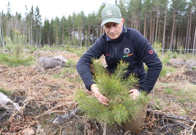 Karl-Anders Högberg visar upp en av de buskiga tallplantor som påträffats de senaste åren i östra Götaland.