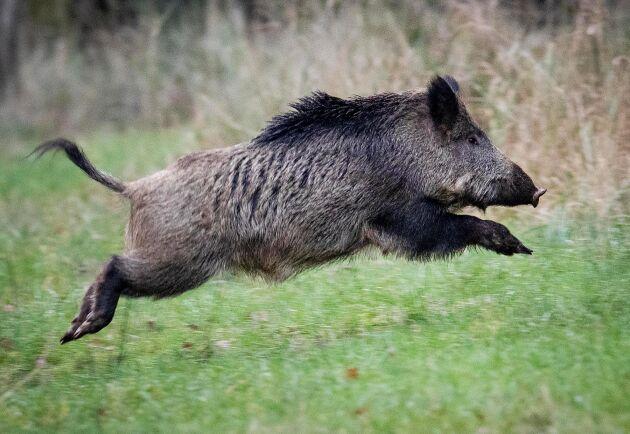 En jägare döms av Blekinge tingsrätt till villkorlig dom och dagsböter för att ha skjutit två kor under en vildsvinsjakt. Arkivbild.