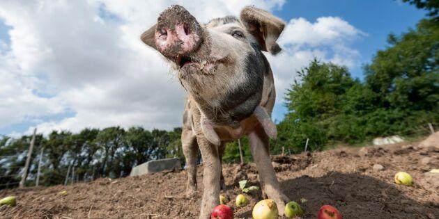 Här blir skolans restavfall foder till kor och grisar