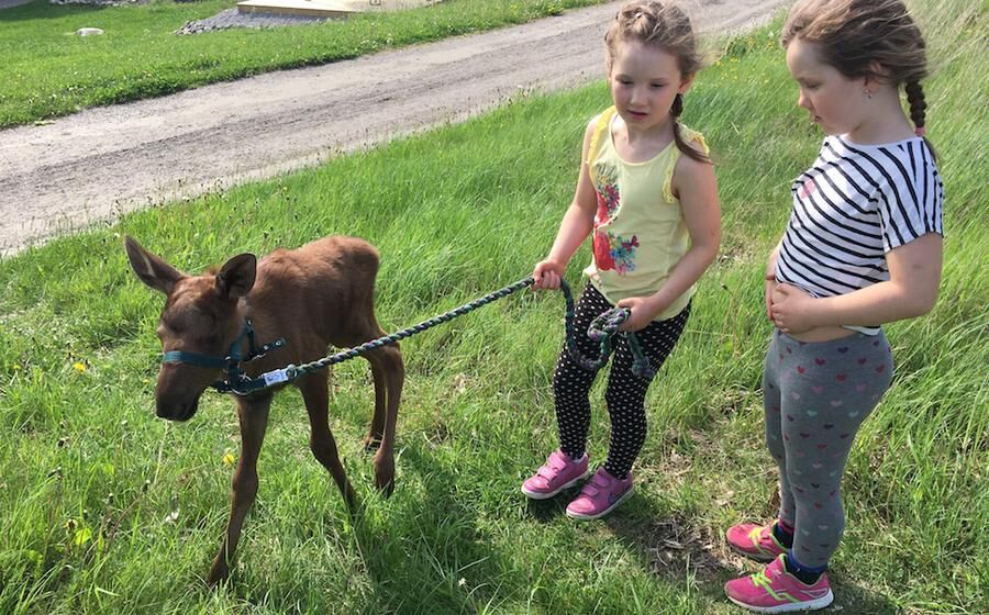 Älgkalven Brownie på promenad med tvillingarna Tyra och Brita.