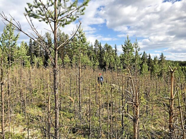 Självföryngrad tallungskog som i princip har totalförstörts av älgarnas bete.