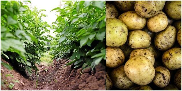 Larver växande hot mot potatisen
