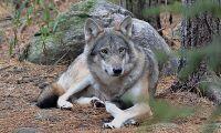 Skogsägare ger 100 miljoner till vargskydd