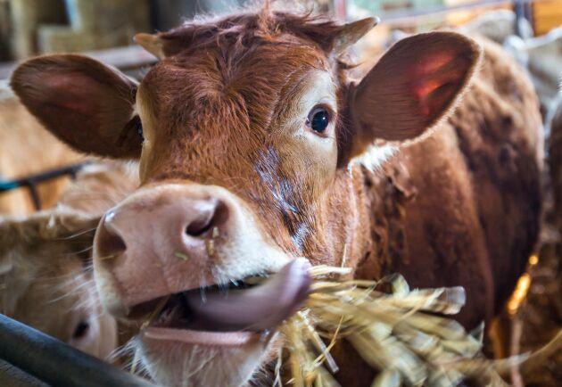 En ko rapar upp omkring 500 liter metangas per dag, men en studie visar att alger i kosten nära halverar den siffran.