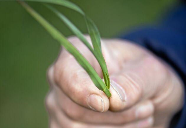 Per-Andersson Andersson lyfter upp en timotejplanta, det vanligaste och mest odlade vallgräset i Sverige.