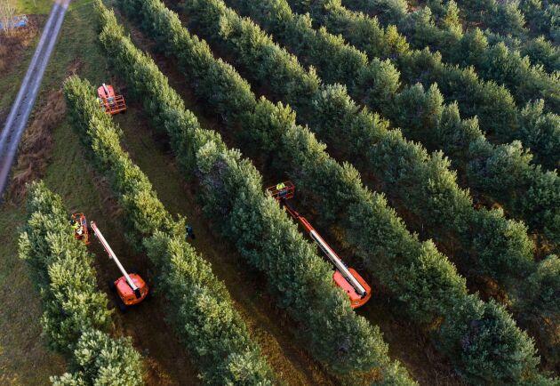 Almnäs-plantagen utanför Hjo består av 14 hektar tall och elva hektar gran. Den började etableras 1984.