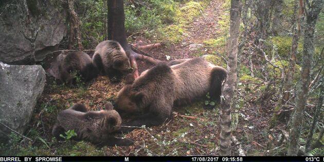 Björnungar kan påverka årets jakt