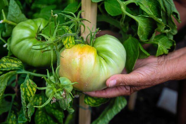 Maria och Mijo Majics tomater är enorma. Tricket för att få dem att växa sig så stora? Skönsång!