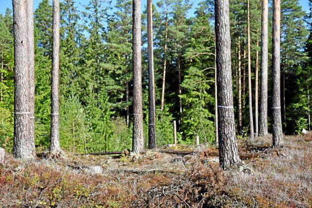Mark- och skogsägares rättigheter bär stärkas i grundlagen menar C, L. M och KD som är på väg att köra över regeringen.