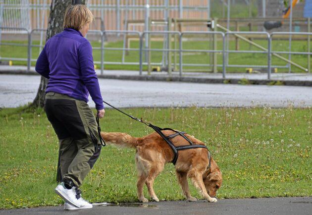Golden retrievern Lova och föraren Kristina Privér vill i framtiden arbeta med ID-spår och spåra upp försvunna djur och människor.