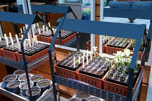 Mängder av sticklingar och plantor drivs upp i växthuset som sedan planteras ut i trädgården. Under sommarhalvåret är familjen nästan självförsörjande på grönsaker.