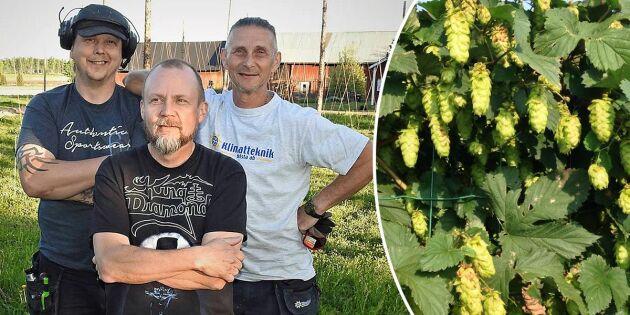 Värmland satsar på humle – här växer Sveriges största odling fram