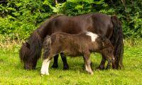 Så blir en liten häst en miniatyr