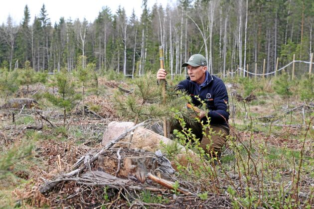 Karl-Anders Högberg inventerar tallplantor.