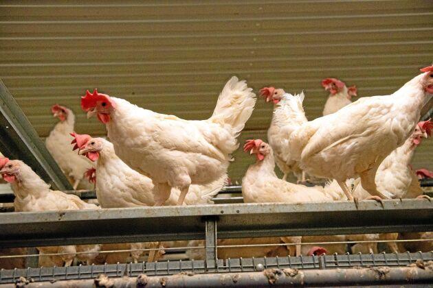 """Här """"fritog"""" aktivisterna från Tomma burar åtta värphöns. Det """"djurhem"""" som tog hand om dem har samlat in pengar för att kastrera hönsen så de aldrig mer kan lägga ägg."""