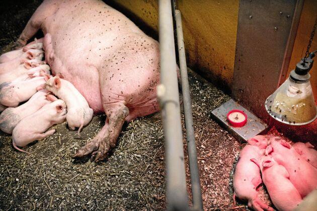 Mjölkkoppen stöttar upp så bra att vissa smågrisar ibland sover sig igenom digivningen.