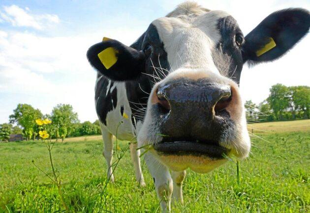 Låga mjölkpriser är en av orsakerna till ekonomiska problem för de danska lantbrukarna. Notan för Bøje Nedergård Pedersens konkurs kan hamna på flera hundra miljoner för hans banker.
