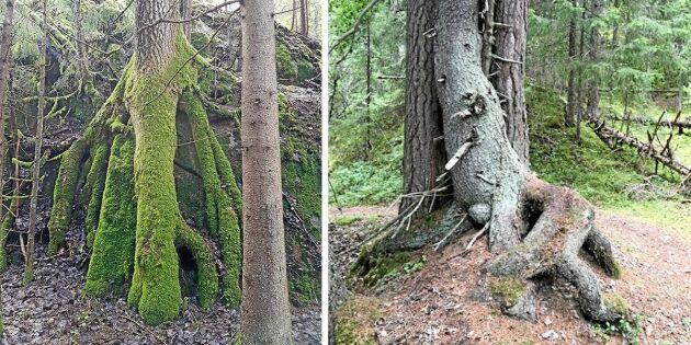 En ovanligt rotad skog
