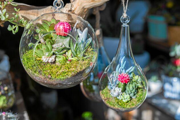 Små hängande glasbollar fulla med fetbladingar. Foto: Istock
