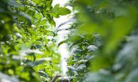 Nytt avtal hotar svensk växthusodling