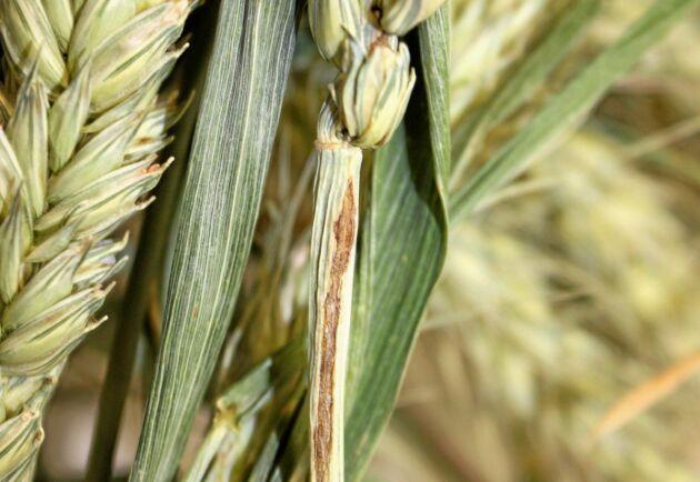 Kornfluga har orsakat skador i sydsvensk vårveteodling.