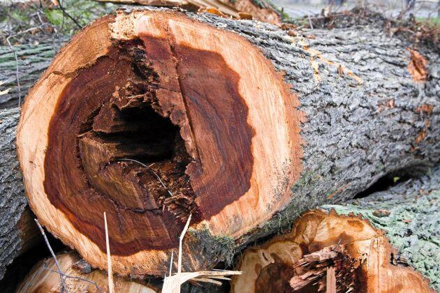 Ett almträd i genomskärning som har angripits av den fruktade almsjukan.